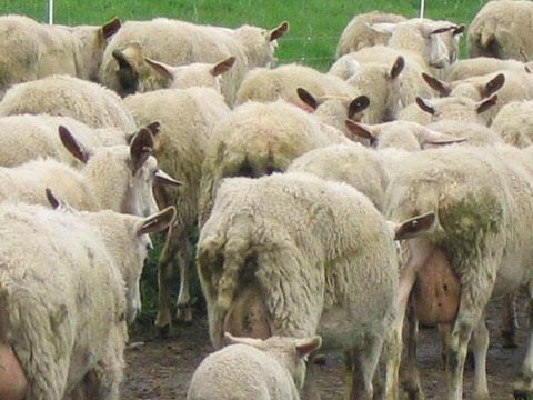 Sheep // TinyFarmhouse.com