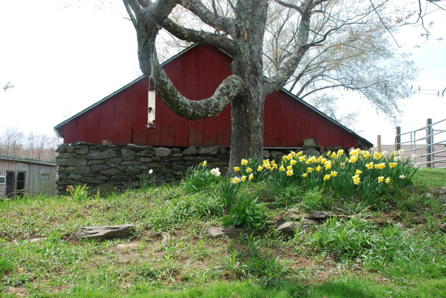 daffodils-in-front-of-barn-before-new-planting-Tiny-Farmhouse