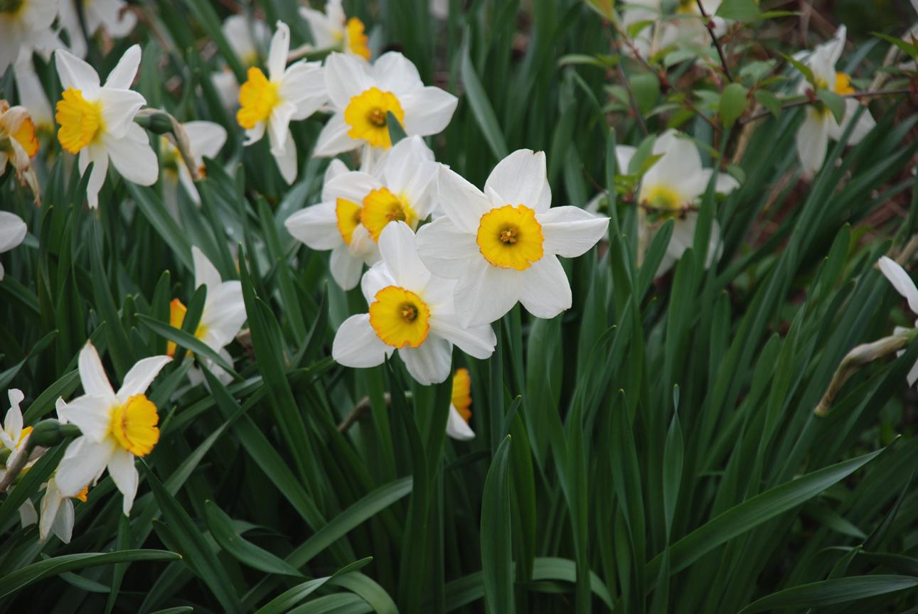 how to grow daffodils from bulbs