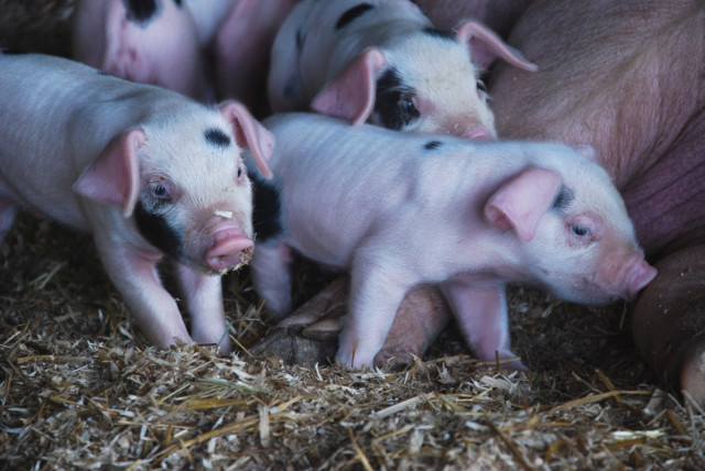 our-first-litter-of-gloucestershire-old-spots-pigs-4
