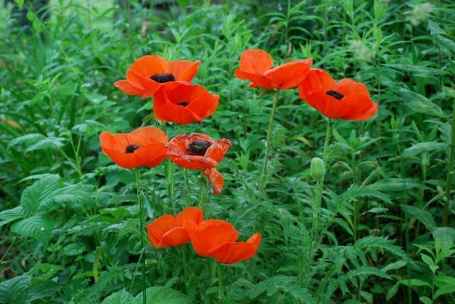 This Week in the Garden poppies | tiny farmhouse