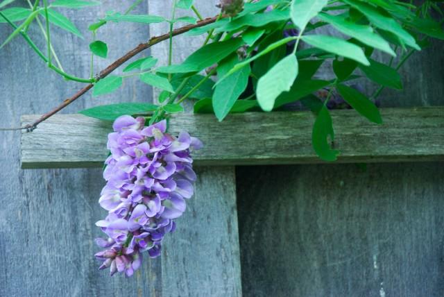 This Week in the Garden wisteria | tiny farmhouse