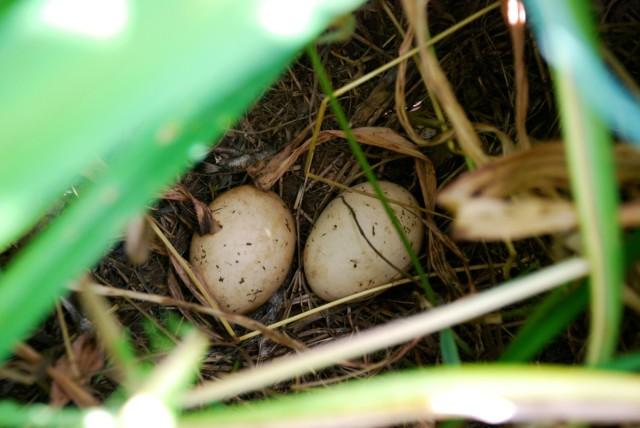 This week in the garden - mid-June wild turkey eggs | tiny farmhouse