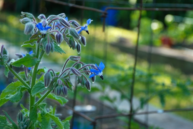 this-week-in-the-garden-early-June-borage-keeps-tomato-hornworm-away | tiny farmhouse