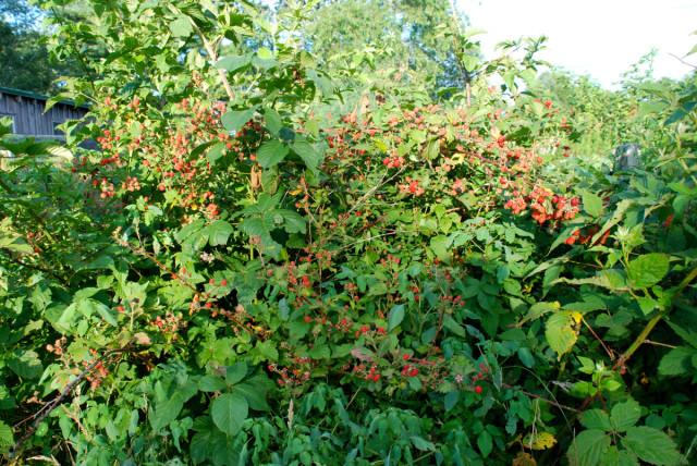 this-week-in-the-garden-end-of-July-blackberry-brambles | tinyfarmhouse