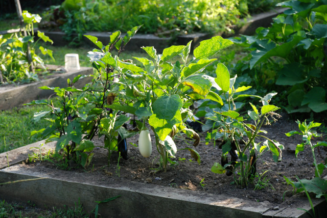this-week-in-the-garden-end-of-July-eggplant | tinyfarmhouse
