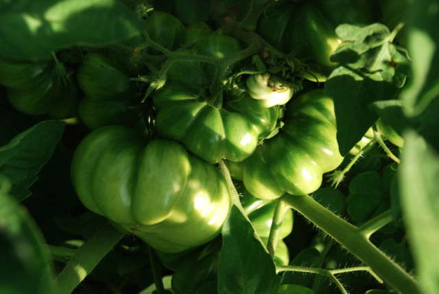 this-week-in-the-garden-end-of-July-green-tomatoes | tinyfarmhouse