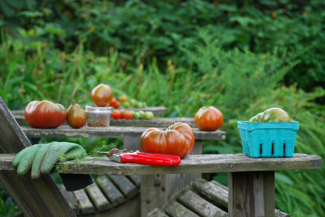 this-week-in-the-garden-mid-August-tomatoes-on-chair | tiny farmhouse