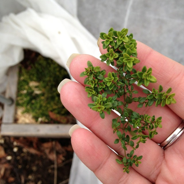 this-week-in-the-garden-early-January-thyme-in-hand | tiny farmhouse