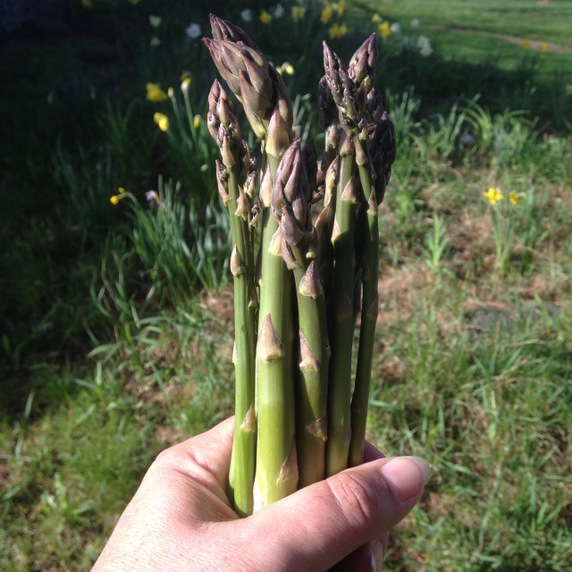 This-week-in-garden-May-2015 asparagus | tiny farmhouse