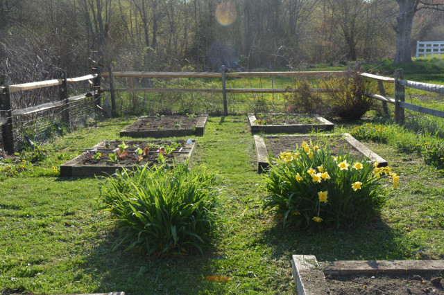This-week-in-garden-May-2015 lettuce and daffodils | tiny farmhouse
