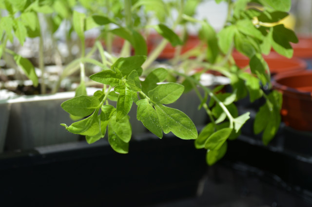 This-week-in-garden-May-2015 tomato seedlings 2 | tiny farmhouse