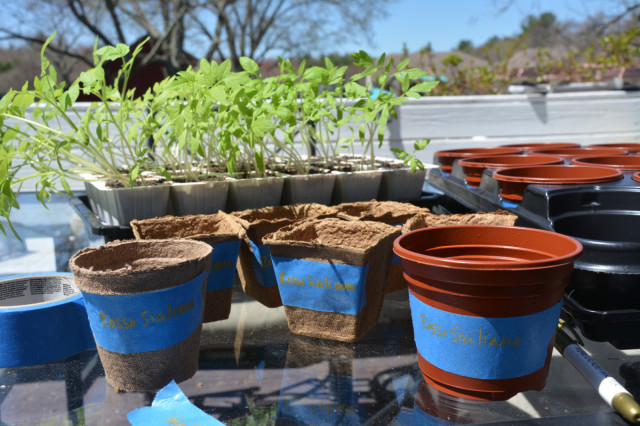 This-week-in-garden-May-2015 tomato seedlings ready to transplant | tiny farmhouse