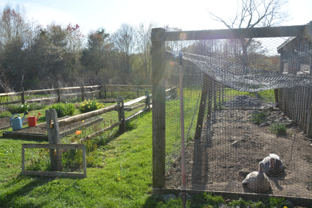 This-week-in-garden-May-2015 turkeys and new fence rails | tiny farmhouse