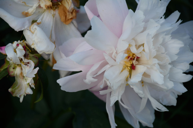 this-week-in-the-garden-mid-June-fading-peony | tiny farmhouse