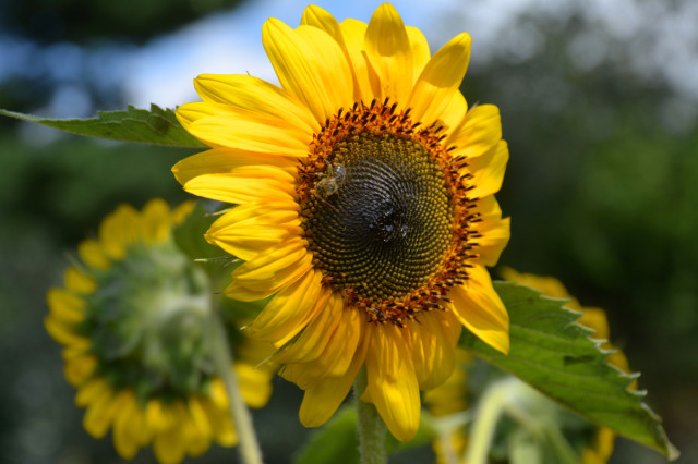 This-week-in-the-garden-early-August-sunflower-with-honeybee | tiny farmhouse