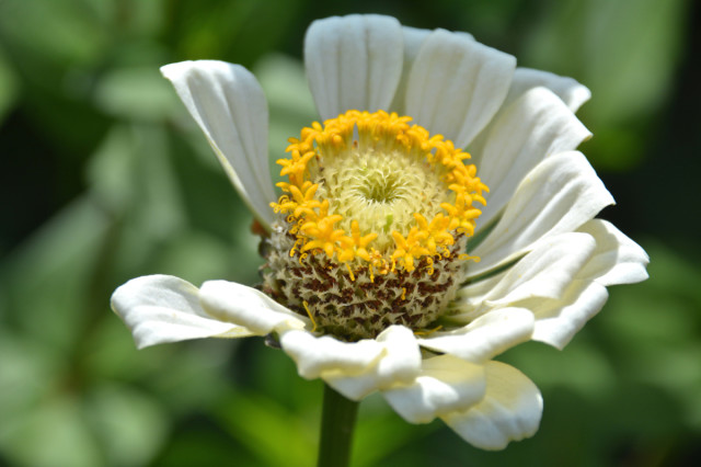 This-week-in-the-garden-early-August-white-zinnia | tiny farmhouse