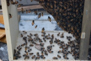 Hiving Bees: A Pictorial Essay
